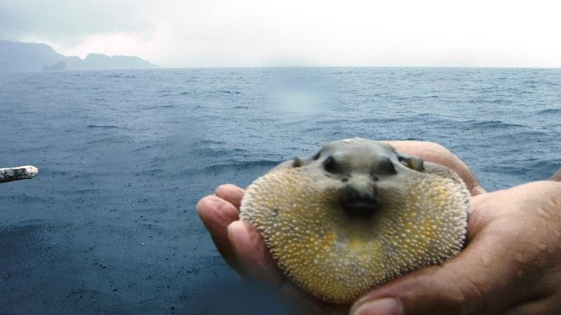 Puffer fish!