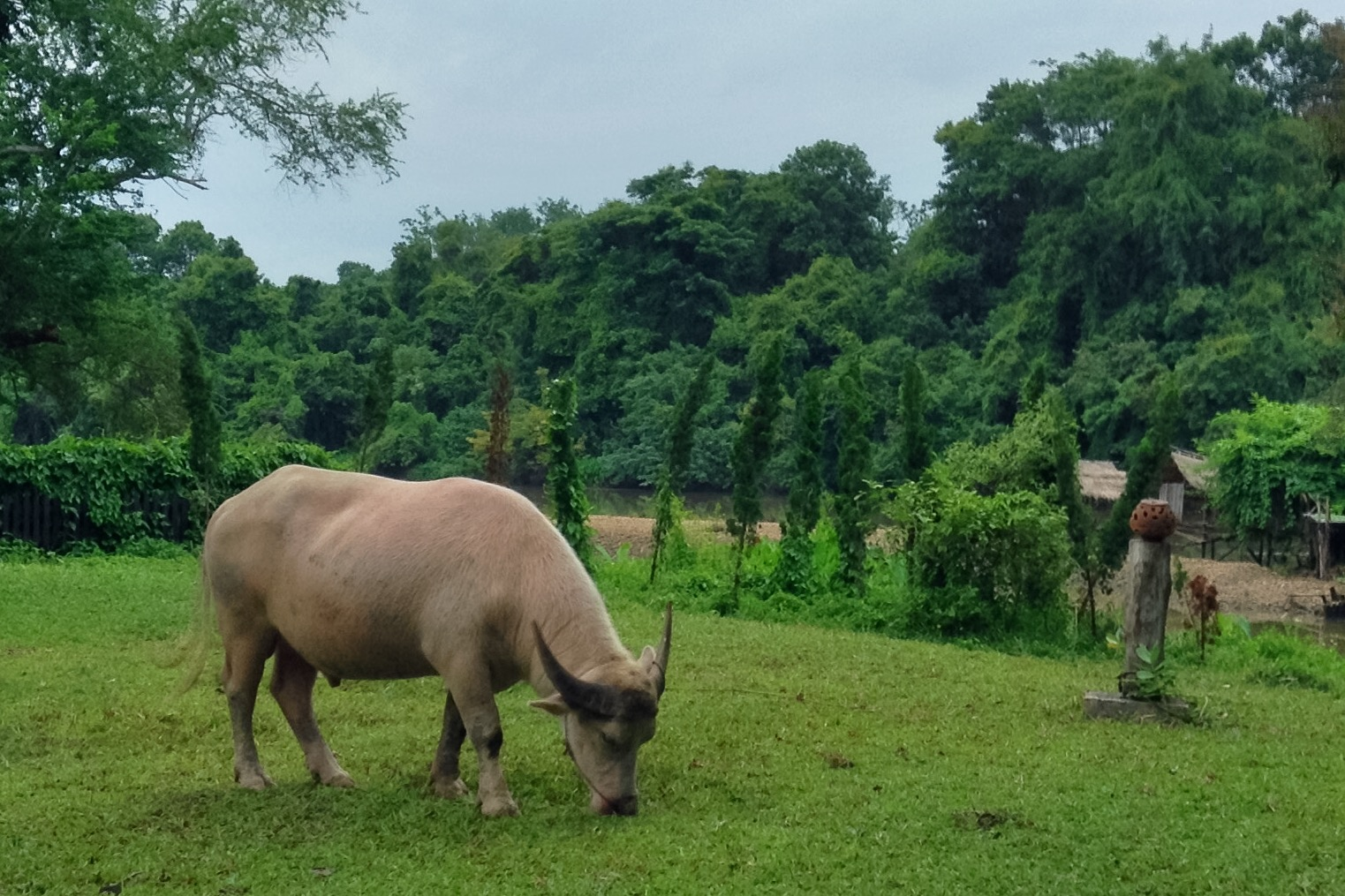 The carabaos here were extra chunky